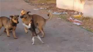 Cat Fights Two Dogs - Scary Cat - PART 1