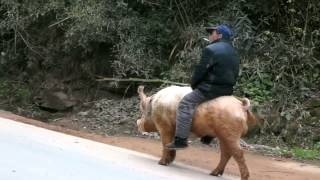 getlinkyoutube.com-Farmer Rides Pig Along Busy Road in China