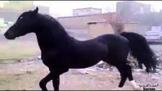 getlinkyoutube.com-هذا الحصان العربي الاصيل   أنطبق عليه وصف الرسول صلى الله عليه وسلم لأفضل وأحب الخيل وخيرها  محجل ث