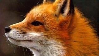 getlinkyoutube.com-Ylvis - The Fox (what does the fox say?) Lyrics