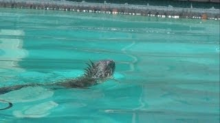 Iguana's first swim ever in the pool - Forest