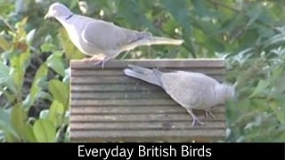 getlinkyoutube.com-Everyday British Birds