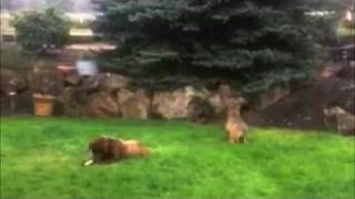 getlinkyoutube.com-Coyote Stalks & Attacks Big Dog -- FUNNY!