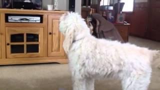 getlinkyoutube.com-Golden doodle howls at empire carpet commercial