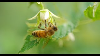 getlinkyoutube.com-HONEY BEES 96fps IN 4K (ULTRA HD)