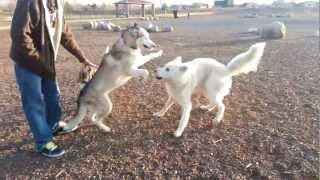 getlinkyoutube.com-Husky vs. Wolf Hybrid