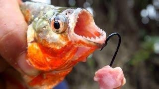 getlinkyoutube.com-Fishing for Piranhas in the Amazon River in Peru