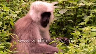 Mother Langur caresses her baby, in the Himalaya
