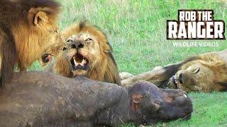 getlinkyoutube.com-3 Big Mapogo Male Lions Eating: HIPPO KILL!! (HD)