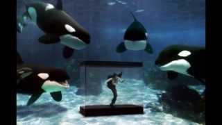 getlinkyoutube.com-Sea World Secrets - Tilikum's Predicament Part One