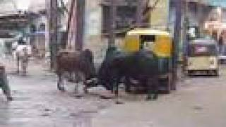 getlinkyoutube.com-Bullfight in Mathura