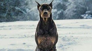 getlinkyoutube.com-Doberman - Police and Protection Dog