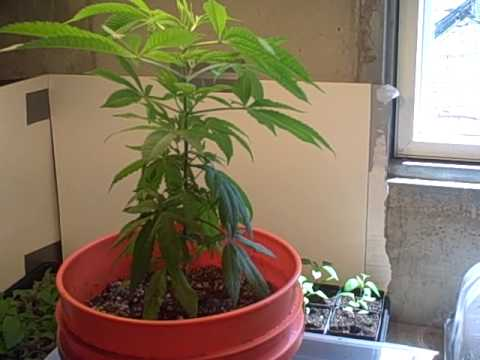 Medical Marijuana - MMJ - Spoetnik #1 Update - When Do I Top?