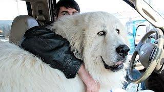 getlinkyoutube.com-Biggest Dog Breeds