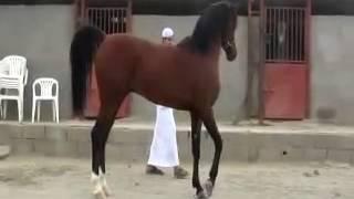 getlinkyoutube.com-الحصان قصوره ابن مروان الشقب