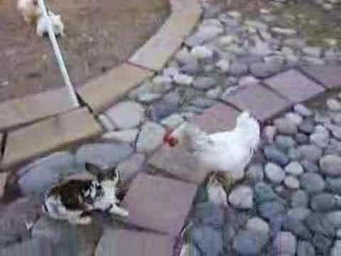 2 chickens break up rabbit fight!
