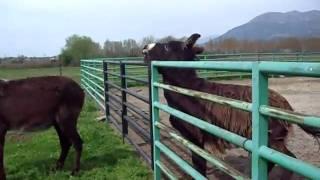 getlinkyoutube.com-Castañeros con 2 burros en una casa rural de toledo
