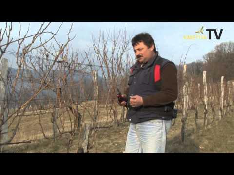 Kmetija Ferjancic   Obrezovanje grozdja