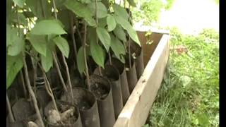 getlinkyoutube.com-Pawpaw Project -- Part 6: Pawpaws in Pots