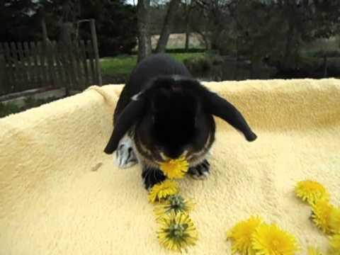 bébé lapin nain noir a jarres blancs elevage lapinsnainsfolies