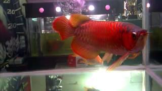 Arwana Super Red ±50cm