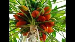 getlinkyoutube.com-Most Expensive Fruit In kerala22 Fruits of Kerala..tast of kerala kasaragod india rappip analam