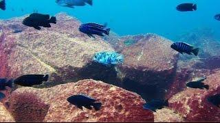 getlinkyoutube.com-Maingano Island Lake Malawi Cichlids - Underwater Footage