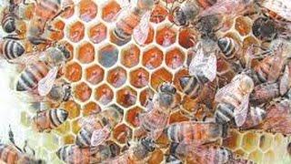 getlinkyoutube.com-تربية النحل - معالجة الفاروا بالثوم
