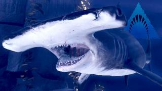 getlinkyoutube.com-HAMMERHEAD SHARK! - Bumps Into Walls! - Depth | Ep7 HD
