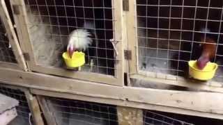getlinkyoutube.com-postura de gallos Cuida de  carlos Haro 8