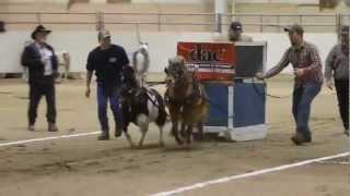 Mini Horse Pull [2013 PA Farm Show]
