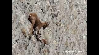 getlinkyoutube.com-stambecchi arrampicati sulla diga del cingino (vb) - valgeis