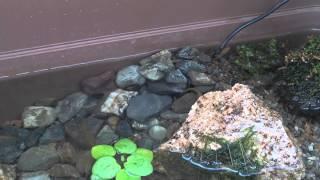 getlinkyoutube.com-ビオトープのメダカが石に登る