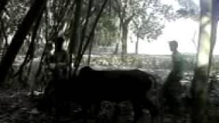 animal cow sex 4