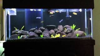getlinkyoutube.com-55 Gallon Mbuna African Cichlid Fish Tank