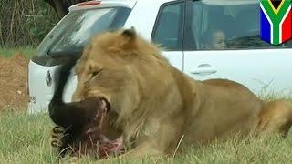 getlinkyoutube.com-사자 한 마리가 남아프리카 사파리 투어 중인 한 여행객을 덮쳐