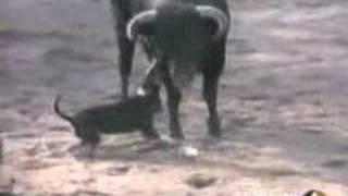 getlinkyoutube.com-Bull VS dog