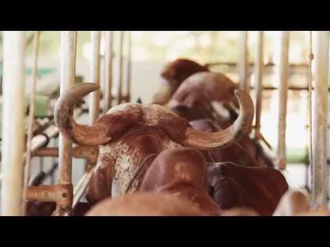 Filme - GIR LEITEIRO - Agroquima
