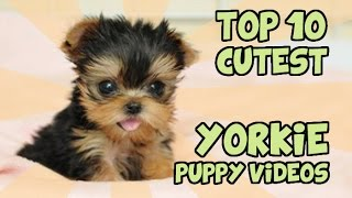 getlinkyoutube.com-TOP 10 CUTEST YORKIE PUPPIES OF ALL TIME