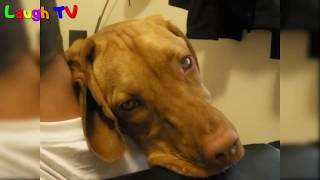 Cute and Funny Big Dogs Thinks They're Lap Dogs Compilation  - Funny Dogs Vines 2016