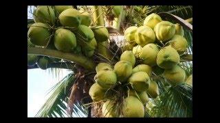 getlinkyoutube.com-การปลูกมะพร้าวน้ำหอม
