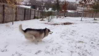 getlinkyoutube.com-Siberian husky meets snow for the first time!