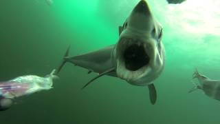 This Mako Shark Is A Ruthless Bait Thief…