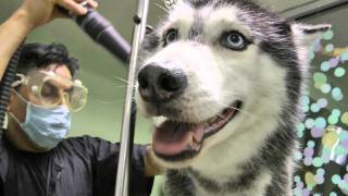 getlinkyoutube.com-Mishka the Talking Husky's Spa Day!