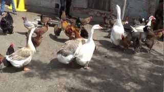 Gęsi kaczki kury indory - Świat zwierząt Witoldzin 17