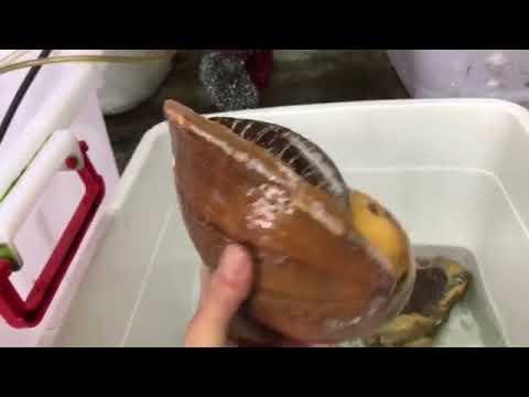 Ốc tu lơn là con gì mà nửa triệu/kg, 6 người ăn không hết? (p2)