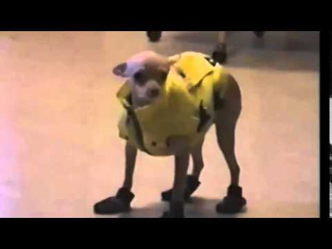 chihuahua in raincoat walks really funny, moves legs up high, prances about