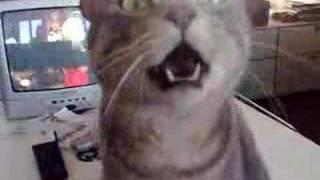 getlinkyoutube.com-gatto che risponde