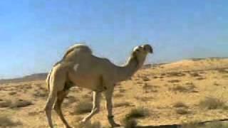 getlinkyoutube.com-عليان   فحل الامير سلطان بن محمد