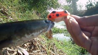 getlinkyoutube.com-ตกปลาช่อนด้วยกบยาง กัด ส่ง วัด  Lung Yai Thailand